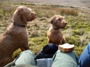 Waiting patiently on a picnic break in the hope of a buttie!